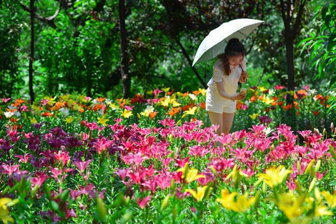 济南红叶谷百合花花节开幕 绚烂花海宛如梦境