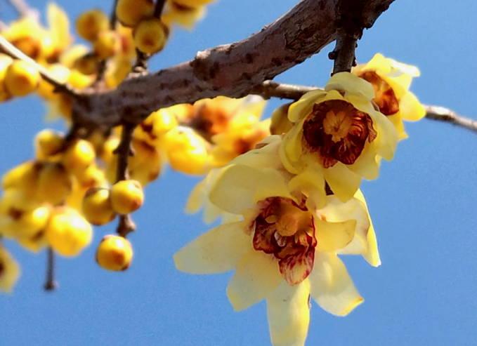 腊梅花盛开 春天气息浓了